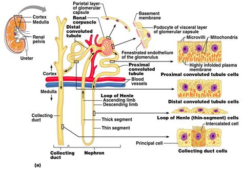 The Nephron Functions And Structure With Labels