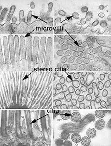 What Is The Difference Between Microvilli And Cilia