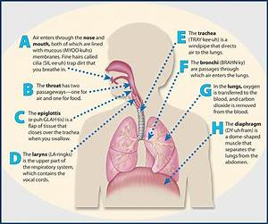Respiratory System Diagram For 5th Grade