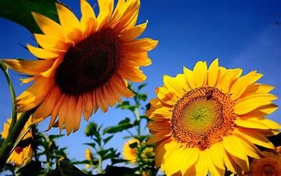 Sunflowers Summer Background Sun Nature Sunflower Flowers