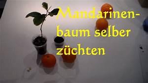 Aprikosenbaum Selber Ziehen : mandarinenbaum selber ziehen z chten pflanzen so wirds gemacht mandarinenkern einpflanzen youtube ~ A.2002-acura-tl-radio.info Haus und Dekorationen