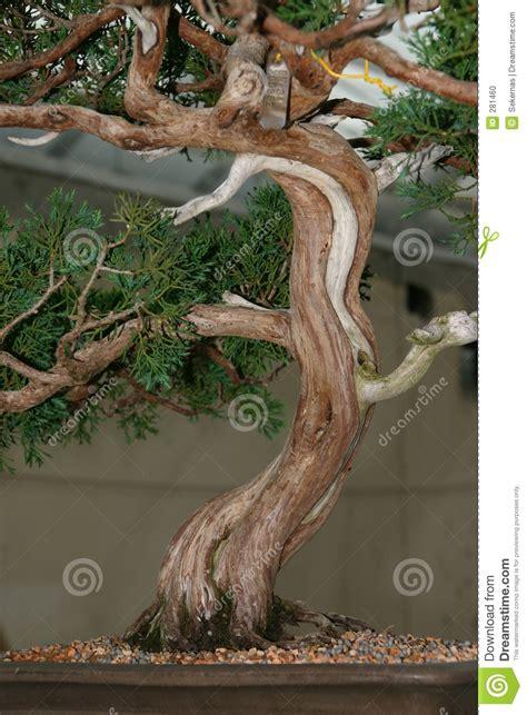 bonsai tree trunk stock photo image