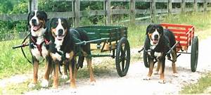 TwinPine Greater Swiss Mountain Dogs