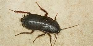 kakerlake im kopf arzt entfernt lebende schabe aus