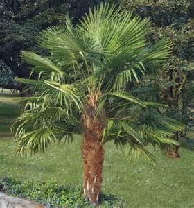 chamaerops excelsa plante en ligne