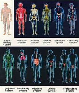 The Body Can Be Divided Into 11 Organ Systems  But All Work Together And The Boundaries Between