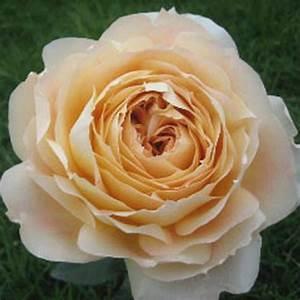 Wholesale Caramel Antike Garden Rose