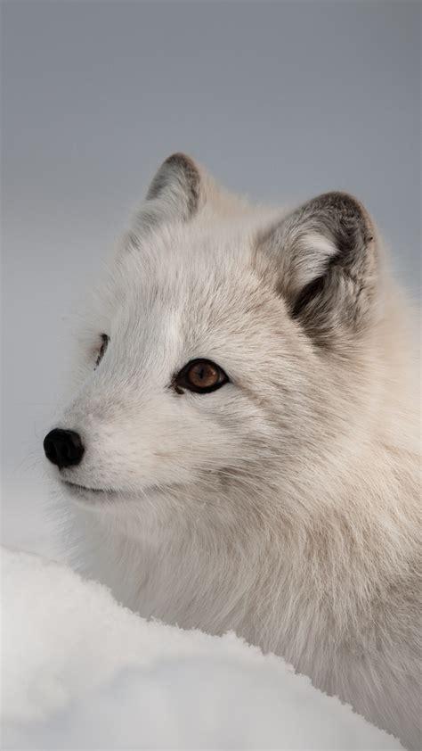 wallpaper arctic fox northern hemisphere animal animals