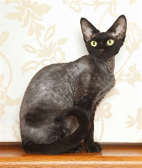 Do Russian Blue Cats Shed by 1000 Ideas About Hypoallergenic Cats On
