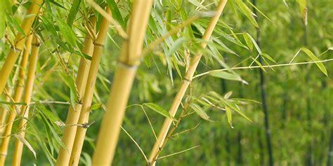fast growing bamboo garden stakes bunnings garden ftempo