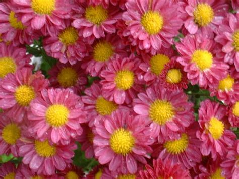 Chrysanthemum, Or Daisy Mums. Most Common Colors Are White