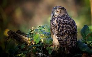 owl hd wallpaper 1080p