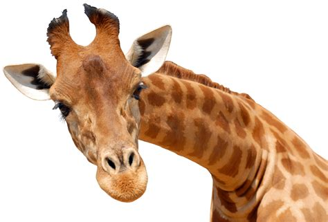cuisine pose offerte stickers girafe pas cher