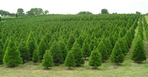 holiday tree farm where to cut your own tree in livegrowplayaustin