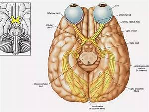 What Is The Function Of The Occipital Lobe In The Brain
