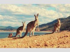 Kangaroo Wallpapers Wallpaper Cave