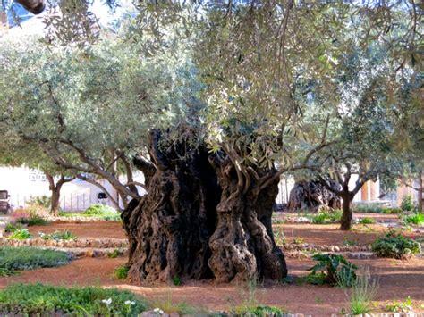 Garten Gethsemane  Garten Des Verrats Und Todesangstbasilika
