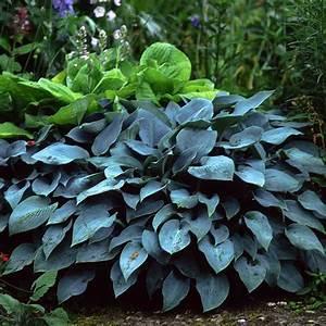 Pflanzkörbe Für Blumenzwiebeln : naturagart shop kleine blaublatt funkie online kaufen ~ Lizthompson.info Haus und Dekorationen