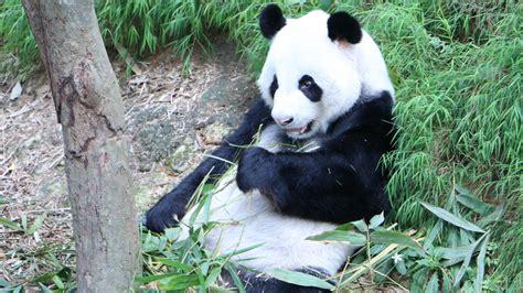 panda  uhd