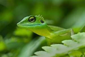 Green crested lizard, Bronchocela cristatella - FM Forums