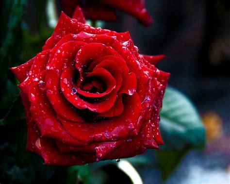 Download Free Red Rose Flower