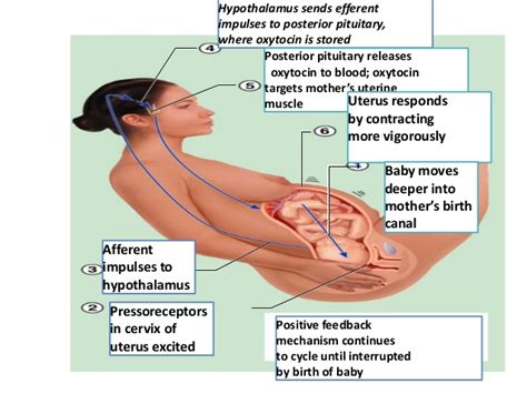 Diagram Of Mucus Plug In Pregnancy