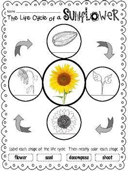 life cycle unit sunflowers  forkinth teachers pay
