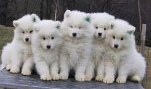 Bébé Loup Blanc : les b b s loups blog fant mes mais aussi gothiques ~ Farleysfitness.com Idées de Décoration