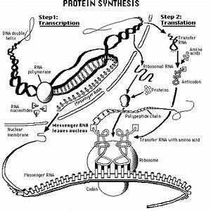 Kwoni U0026 39 S Scavenger Hunt   33 A Diagram Of A Cell With Structures Involved In Protein Synthesis