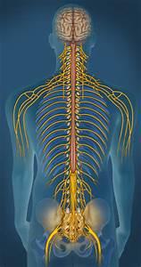 Sistema Nervoso Perif U00e9rico