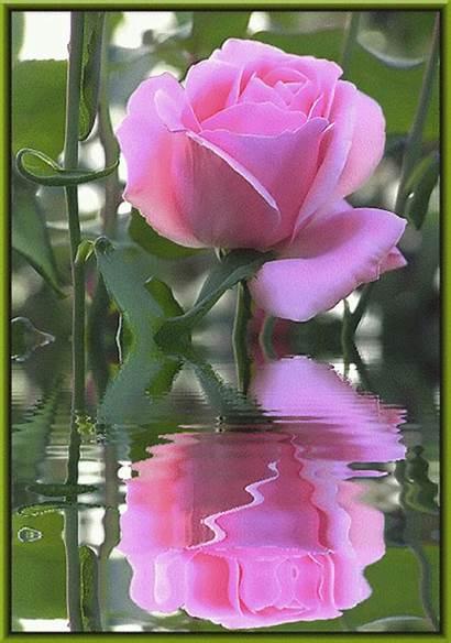 Rose Flowers Scraps Decent Flores Code