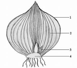 Aufbau Der Zwiebel : zwiebeln abbildung 2 ~ Lizthompson.info Haus und Dekorationen