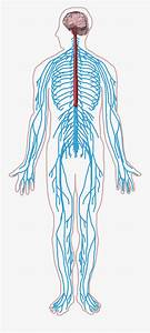 Peripheral Nervous System Png
