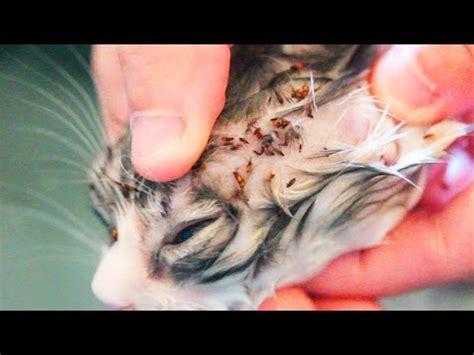 graphic flea infestation  kitten youtube