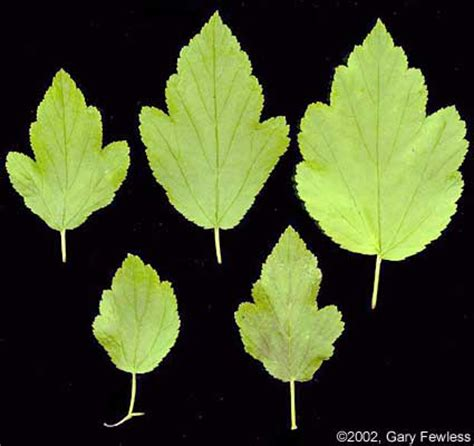 shrubs  wisconsin physocarpus opulifolius common ninebark