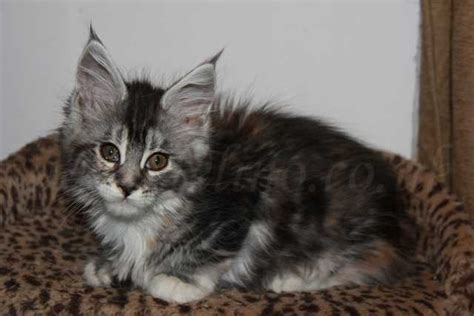 pure breed maine coon kittens for sale adoption from