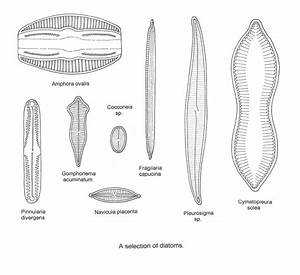 Pin Spirogyra Diagram On Pinterest