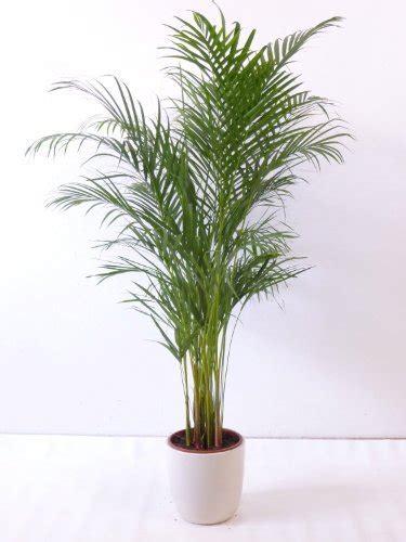 die pflegeleichte areca palme fuer wohnung und buero
