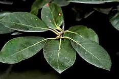 Image result for black gum leaf identification