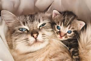 cats pregnancy guidelines to health for your cat cat
