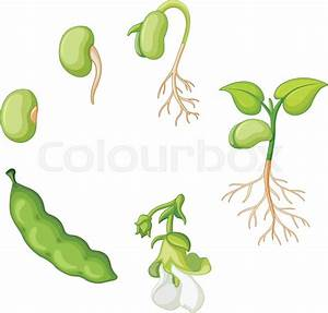 Life Cycle Of Green Bean Illustration