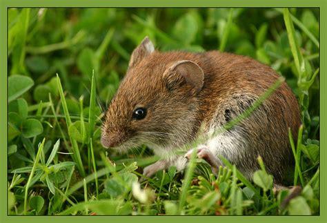 Meine Gartenmaus Foto & Bild  Tiere, Wildlife