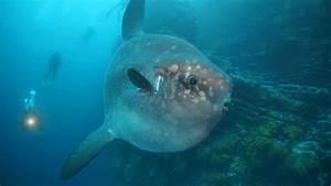 "Thalassophobia: Mola Mola, or ""Giant Ocean Sunfish"""
