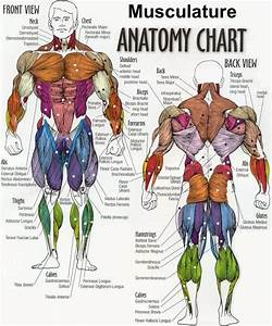 Woman Muscles Diagram