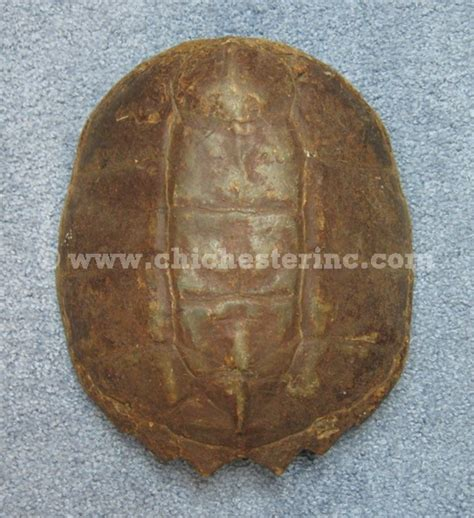 snapping turtle shell shedding snapping turtle shell www pixshark images
