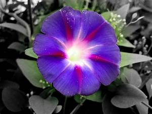 flowers for flower lovers.: Morning Glory flowers pictures.