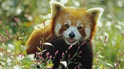 Panda Wallpapers Background Pandas 4k Desktop Resolution