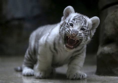 Baby Animal Wallpapers - baby tiger wallpapers baby animals
