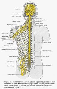 The Human Muscular And Nervous System
