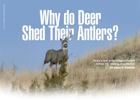 why do deer shed their antlers outdoor forum